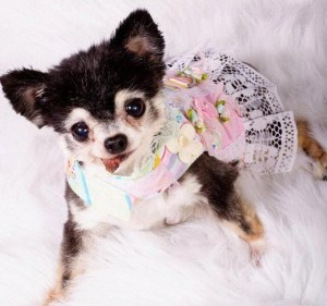 chihuahua rescue wisconsin pet of the week guest blogger winnie wisconsin chihuahua 750